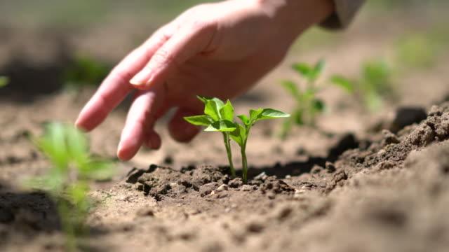 vídeos de stock, filmes e b-roll de mão de agricultora plantando mudas de pimenta no solo - ramo parte de uma planta