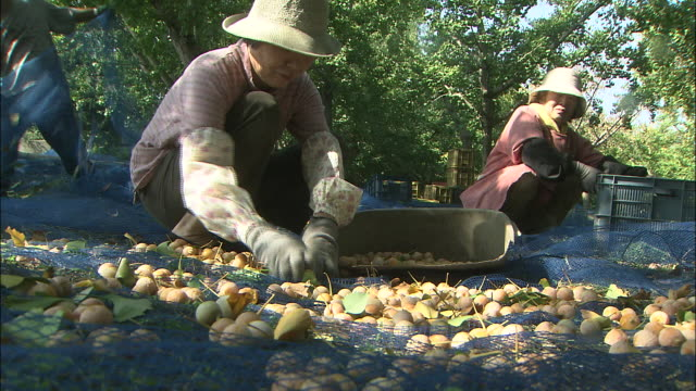 Women gather ginkgo nuts from the ground.