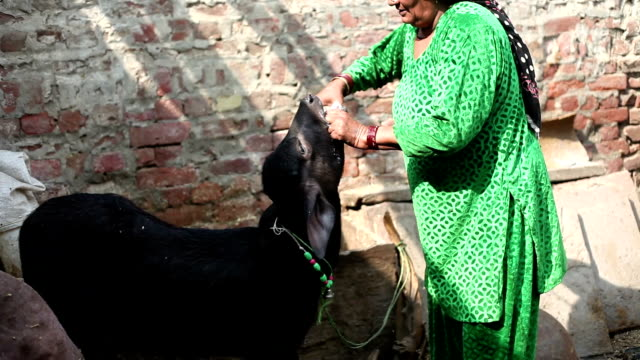 women giving medicine to cattle - women doing farm animals stock videos and b-roll footage