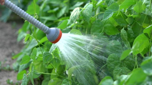 women hand irrigation organic green bean plant in garden - green bean stock videos & royalty-free footage
