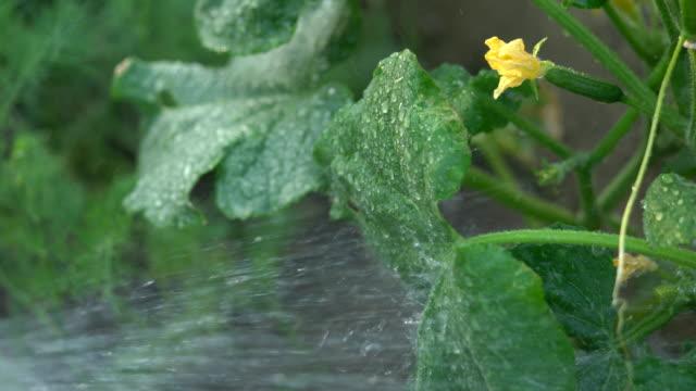 女性は、灌漑の庭で緑の有機キュウリを手します。 - カボチャ点の映像素材/bロール