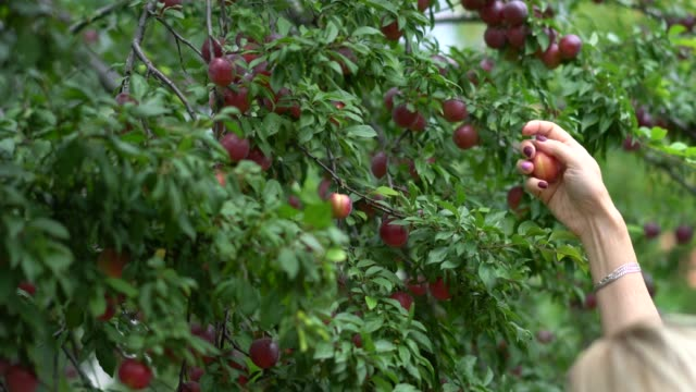 women hand picking red plum - plum stock videos & royalty-free footage