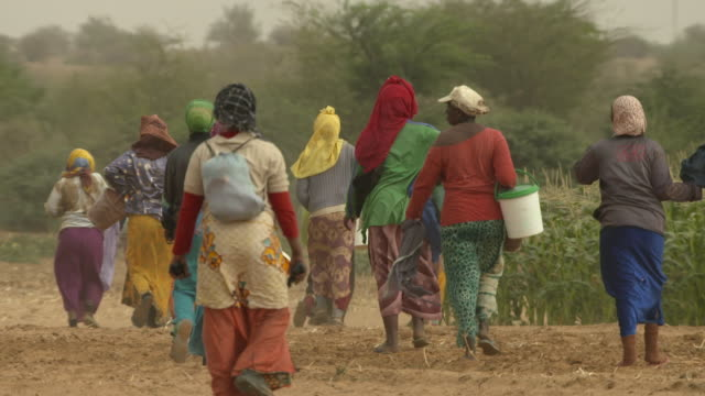 slomo women head into field to pick sweetcorn, senegal - corn cob stock videos & royalty-free footage