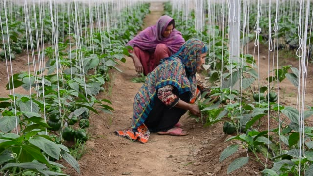 women in agriculture - pakistan stock videos & royalty-free footage