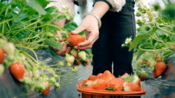 Women pick strawberries in the greenhouse