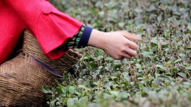 women pick tea leaves at tea plantation,hanzhong,china. - plantation stock videos & royalty-free footage