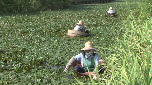Women pick water chestnuts in a marsh.