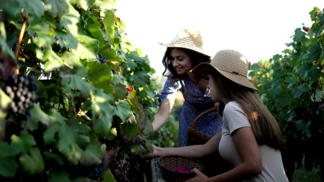 women picking grapes by hand in the vineyard - red grape stock videos & royalty-free footage