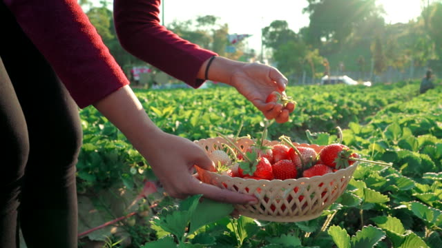 women picking strawberry in farm - picking harvesting stock videos & royalty-free footage