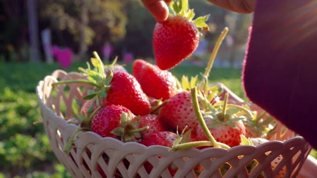 vrouwen plukken aardbeien in boerderij