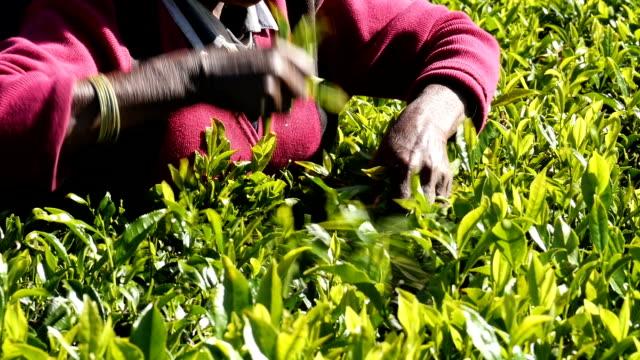 women picking tea in sri lanka - film montage stock videos & royalty-free footage