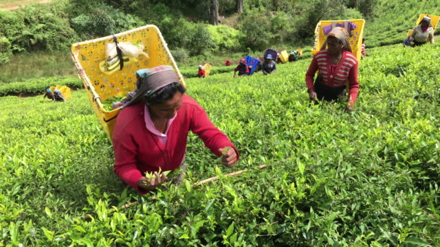 women picking tea in sri lanka - picking harvesting stock videos and b-roll footage