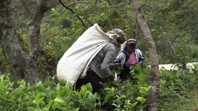 women picking tea leaves on loolecondera tea plantation in kandy, sri lanka - harvesting stock videos & royalty-free footage
