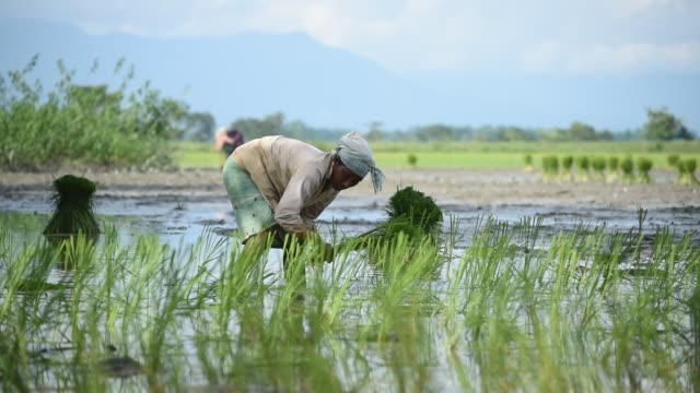 women plants rice shoots or sapling in a paddy field in a village on a hot summer day in baksa district of assam in india on 08 august 2020. as rice... - india stock videos & royalty-free footage
