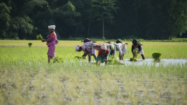 women plants rice shoots or sapling in a paddy field in a village on a hot summer day in baksa district of assam in india on 08 august 2020. as rice... - rice stock videos & royalty-free footage