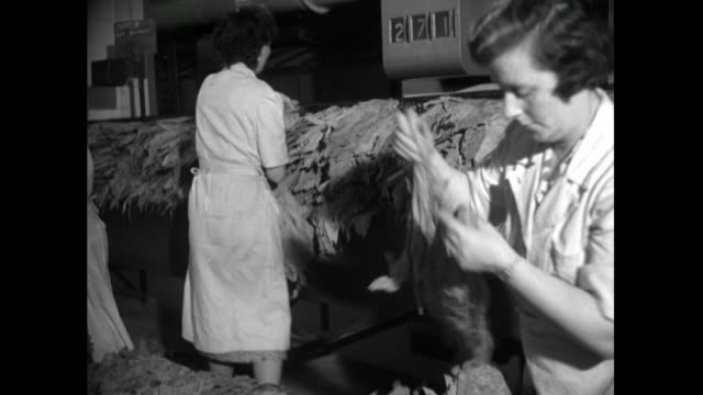 women sort tobacco leaves in cigarette factory; 1951 - factory stock videos & royalty-free footage