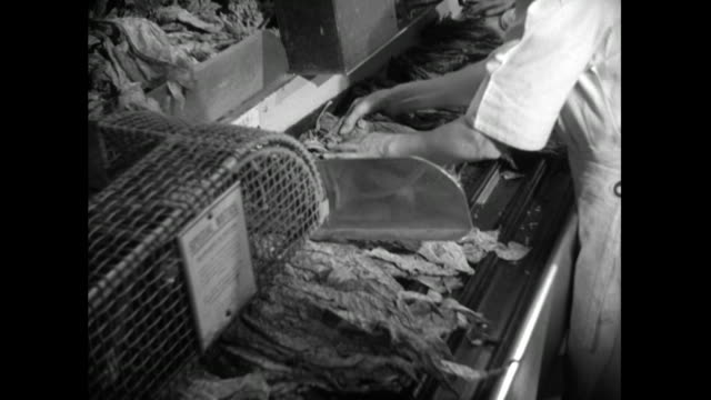women sort tobacco leaves in cigarette factory; 1951 - archival stock videos & royalty-free footage