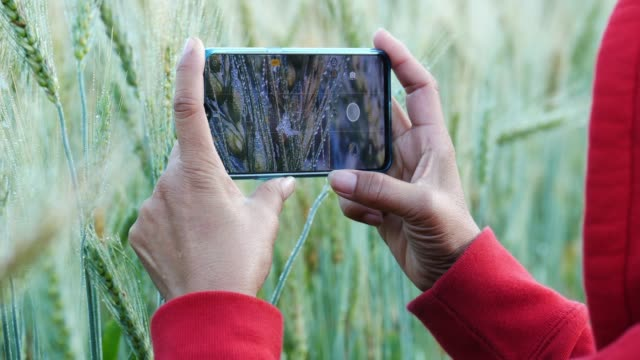 women use smartphones to shoot wheatgrass. - camera photographic equipment stock videos & royalty-free footage