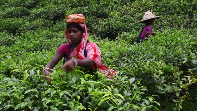 women workers collecting tea leaves from the a tea garden in sylhet, bangladesh on november 09, 2019. two leaves and a bud need to be plucked in... - tea crop stock videos & royalty-free footage