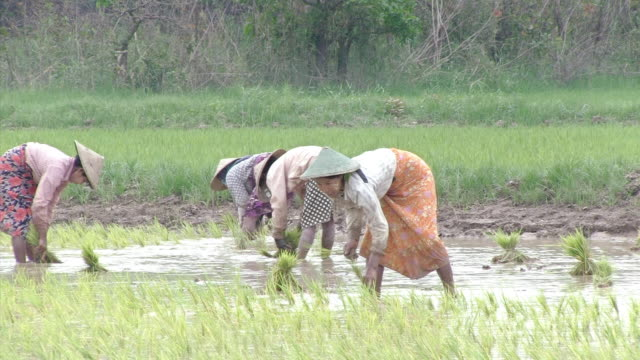 ws women working in a rice patty in myanmar  / mandalay, mandalay division, myanmar - mandalay stock videos and b-roll footage