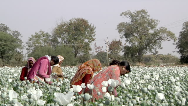 ms women working in the poppy plantation / rajasthan, india - 麻薬点の映像素材/bロール