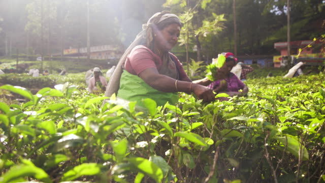 vidéos et rushes de women working on tea plantation at sri lanka - thé boisson chaude