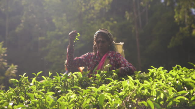 women working on tea plantation at sri lanka - svart te bildbanksvideor och videomaterial från bakom kulisserna