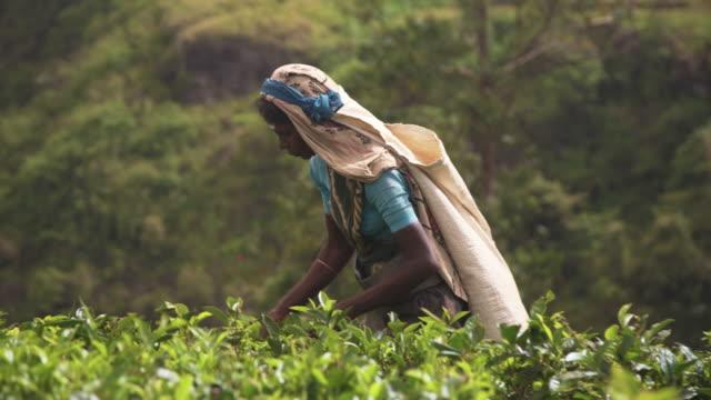 women working on tea plantation at sri lanka - tè bevanda calda video stock e b–roll