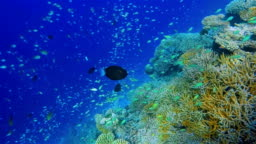 Wonderful coral reef with lots of school of damselfishes