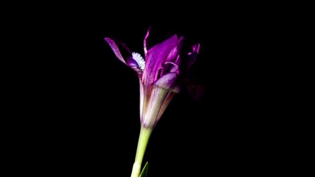 wonderful mountain purple iris blooms - iris plant stock videos & royalty-free footage