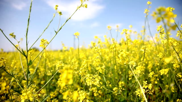 wonderful spring - canola stock videos and b-roll footage