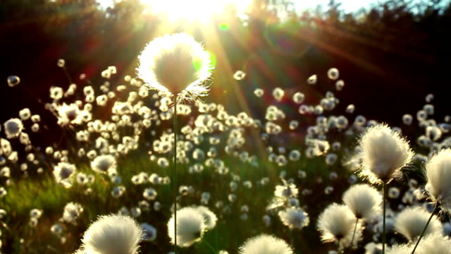 wonderfull fluffy flowers - cotton stock videos & royalty-free footage