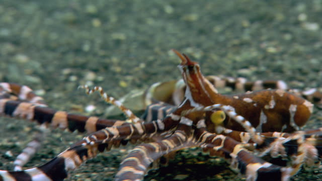 stockvideo's en b-roll-footage met wonderpus octopus (wunderpus photogenicus) moving over a sandy seabed. this spectacular long-armed octopus has a venomous bite. filmed in the lembeh strait, sulawesi, indonesia - giftige stof
