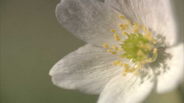 a wood anemone close-up. - pistil stock videos & royalty-free footage