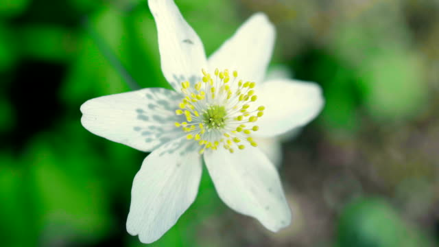 wood anemone - wildflower stock videos and b-roll footage