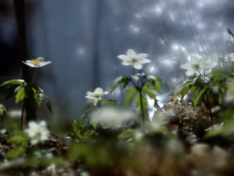 wood anemones by the sea a couple passing by sweden. - one mid adult man only stock videos & royalty-free footage