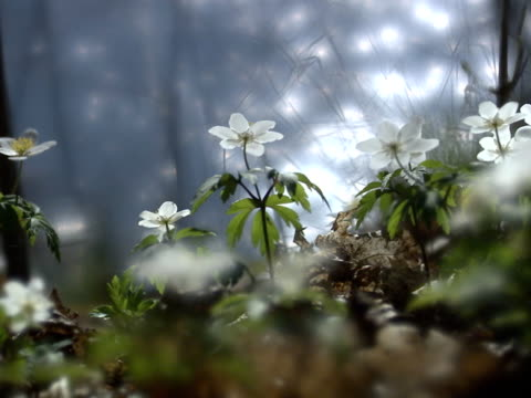 wood anemones by the sea a cyclist passing by sweden. - one mid adult man only stock videos & royalty-free footage