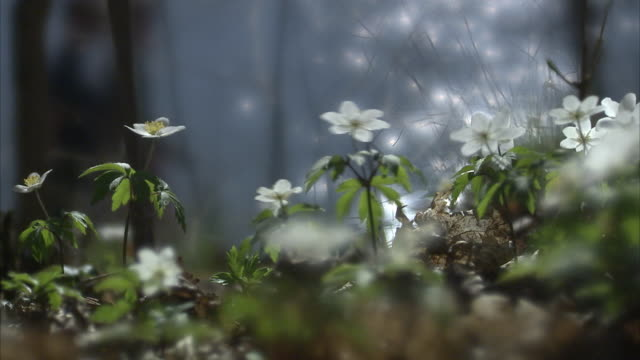 wood anemones by the sea people passing by sweden. - springtime stock videos & royalty-free footage