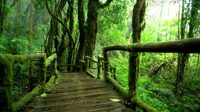 4K: Wood bridge in the natural rain forest.
