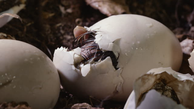 wood duck duckling hatches from egg - jungvogel stock-videos und b-roll-filmmaterial