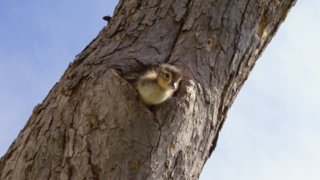 wood duck duckling jumps from nest - young bird stock videos & royalty-free footage