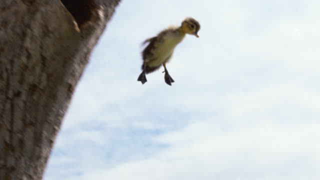 wood duck duckling jumps from nest - jungvogel stock-videos und b-roll-filmmaterial