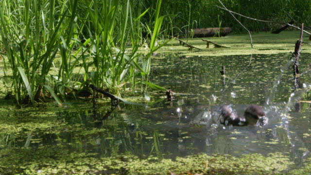 wood duck duckling lands in water after jump from nest - wisconsin stock videos & royalty-free footage