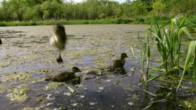 wood duck duckling lands in water after jump from nest - duck stock videos & royalty-free footage