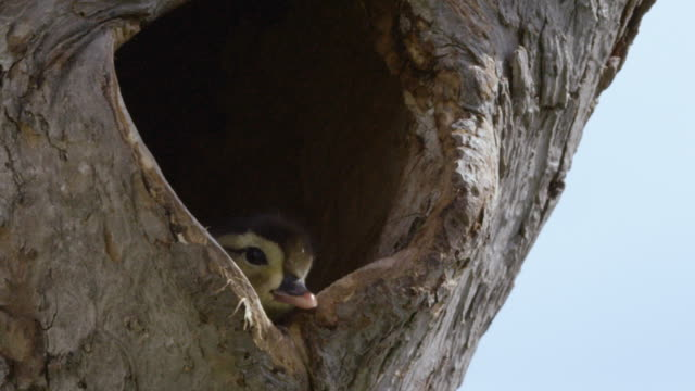 wood duck duckling looks out from nest in tree trunk - nido di animale video stock e b–roll