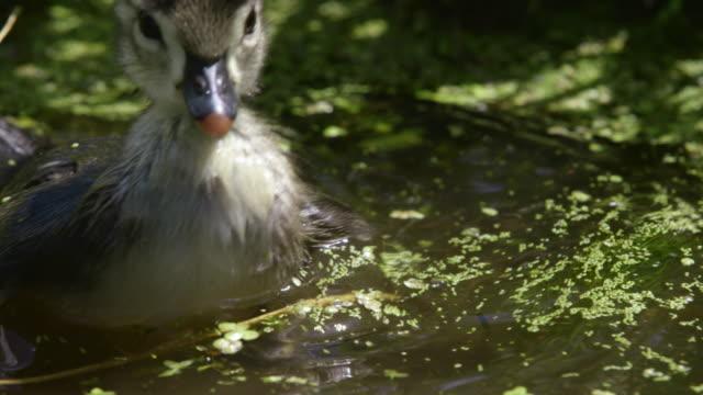vídeos de stock, filmes e b-roll de wood duck duckling swimming in pond - pássaro