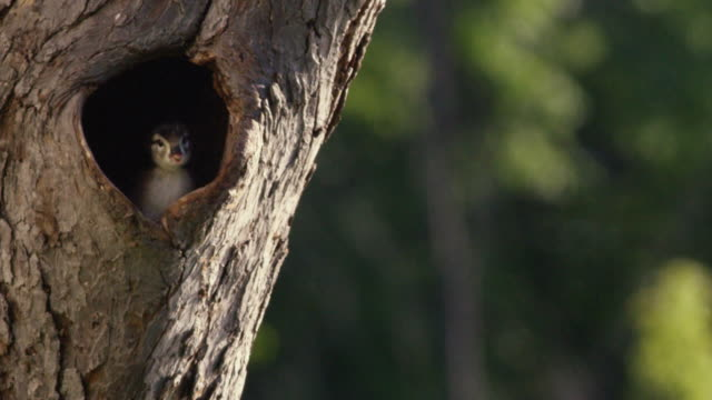 wood duck ducklings looks out from nest in tree trunk - animal nest stock videos and b-roll footage