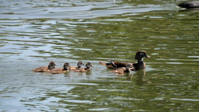 wood duck familie - ente wasservogel stock-videos und b-roll-filmmaterial