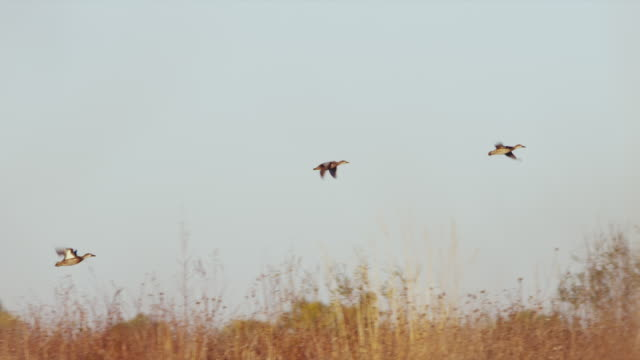 wood ducks take flight across amber and brown autumn foliage at sunrise. - cinque animali video stock e b–roll