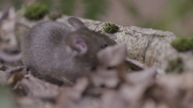 wood mouse (apodemus sylvaticus) foraging, eating twig - rodent stock videos & royalty-free footage